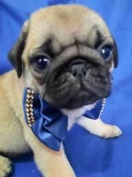 Pugs com pedigre e microchip