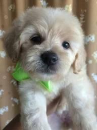 Poodle micro toy fêmea