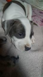 Pitbull filhote macho