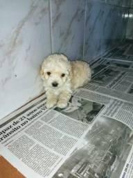 Poodle macho micro mega promoção 450,00