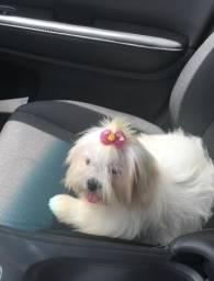 Cachorra Maltês