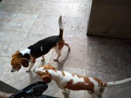 Vende se filhote de Beagle