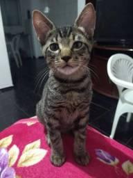 Gatos macho/castanhal