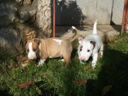 Bull Terrier Inglês pirata/fulvo/tricolor/white * Lauany