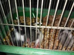 Vendo filhotes de hamster sirio