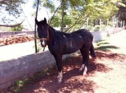 Cavalo Xucro (inteiro)