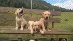 Filhotes de Labrador (27)997274395