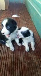 Vendo filhote border collie preto e branco olhos claros