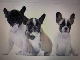 Bebês bulldog Frances todas fêmeas