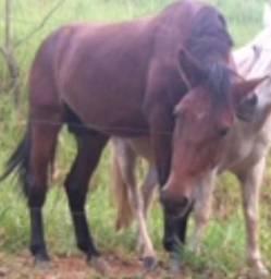 Cavalo Castanho roubado