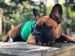 Bulldog francês fulvo 5 meses