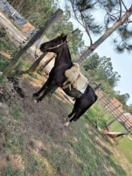 Cavalo Capado manso para crianças ou iniciantes.