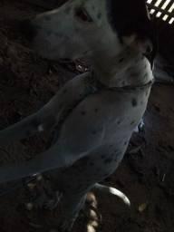 Título do anúncio: Cadela da raça dalmatas