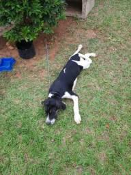 Doa-se Beagle Macho