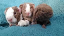 Título do anúncio: Porquinhos da índia, US teddy