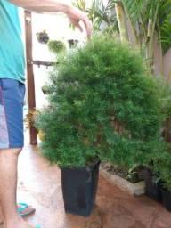 Planta para decorar seu ambiente