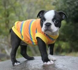 Última Fêmea de Boston Terrier