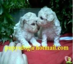 Filhotes poodle toy