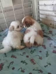 Shitzu lindos bebês