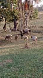Venda de ovinos e caprinos