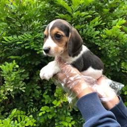 Beagle - Filhotes Pronta entrega
