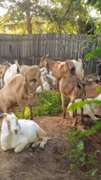 Vendo cabra é bodes