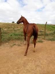 Vendo cavalo 3/4 QM sem documento