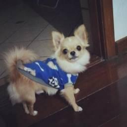 Chihuahua para cruza