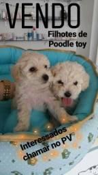 Vendo Filhotes de Poodle Toy