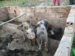 Vendo casal pietran a porca já está prenha, primeira cria, casal novo bom para reprodução