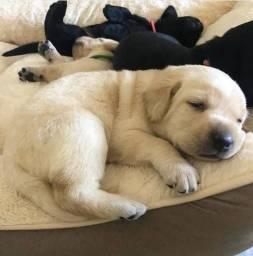 Labradores Lindos Filhotes