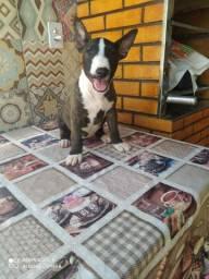 Disponível Bull Terrier