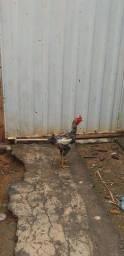 Um galo ótimo reprodutor uma galinhas ensaiando para botar e uma galinha índia