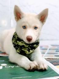 Husky Siberiano olhos azuis a pronta entrega