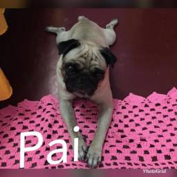 Vendo Pug Fêmea 8 meses