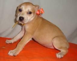 Labrador com Dog brasileiro, porte grande e companheiros