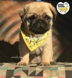 Filhotes de Pug show Enviamos para todo Brasil