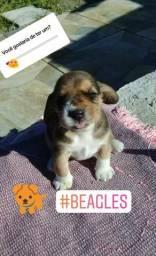Vendo filhotes de BEAGLES R$ 550,00