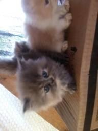 Filhotes de gatinhos Persa
