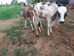 Gado, vacas, bezerros, novilhos