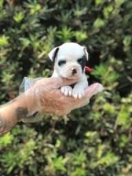 Bulldog Francês - Presenteie quem você ama ainda hoje, venha buscar seu novo amigo!