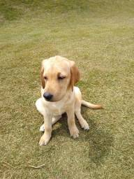 Linda Filhote Labrador Amarela Fêmea Raça Pura