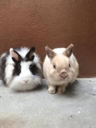 Doando coelhinho perto com branco ??
