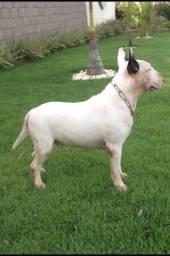 Bull terrier adulto