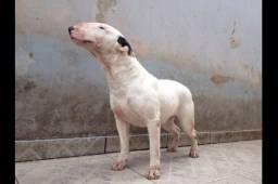Bull terrier adulta