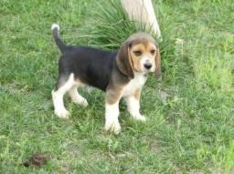 Beagle machos e femeas em até 12 vezes em juros!