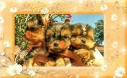 Yorkshire Terrier disponíveis baby faces e micros