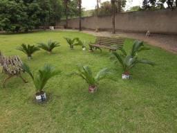 Vendo Sagu de Jardim