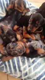 Filhotes de cachorros ? raça dachshund puros!!