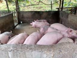 Vende se carne de porco e porco vivo